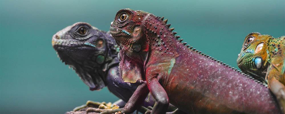 Three colorful chameleons sitting on an off-screen object and staring to the left. The first one is purple, the second red, and the third one yellow.